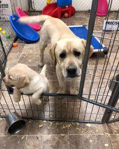 Labradorretriever Labrador Dogsofinstagram Labsofinstagram Dogs Dog Of Labs Puppy Lab Labrador Retriever Wet Dog Food Labrador