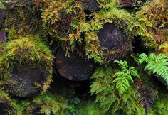 mari-hj:  Moss covered logs