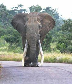 Dié foto van Duke in sy volle glorie is op 3 April 2006 op die pad tussen Onder-Sabie en Tshokwane in die Krugerwildtuin deur 'n Beeld-leser geneem. Foto: Petrus de Kock