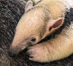 Olive and Brutus, two Southern Tamanduas imported into the US last year, had their first baby at the Buffalo Zoo.  Read more today on ZooBorns.com and at http://www.zooborns.com/zooborns/2013/06/rare-southern-tamandua-born-at-buffalo-zoo.html
