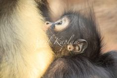 Excited to share the latest addition to my #etsy shop: Spider monkey print, baby print, animal photography, gift for mom, home decor, fall decor, gift, artwork, framed print, canvas art, brown