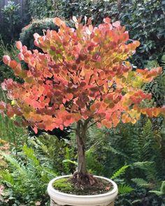 #Cercidiphyllum #Japonicum #katsura #Bonsai