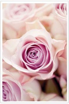 Beautiful #pink #rose