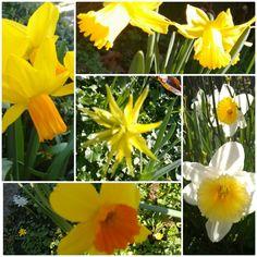 Nog meer Narcissen.