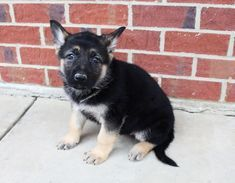 Breed German Shepherd Gender Female Registry Akc Personality Calm Date Available Mar 29 2020 Say Hello To Sally In 2020 Puppies For Sale Puppies Socializing Dogs