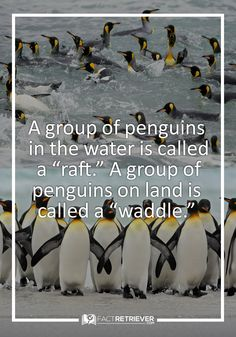 Other collective nouns for penguins include rookery, colony, and huddle.