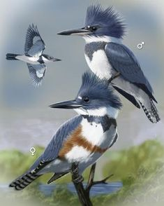 Saw at Dyers Lake, Belted Kingfisher - Whatbird.com