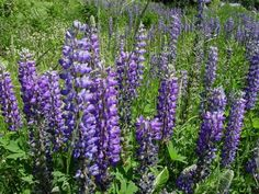 Lupine (Lupinus), 1.5 to 3 feet, many colors, blooms early to mid-summer, likes full sun but tolerates part shade, average moisture. Great for cottage gardens, can be short lived.