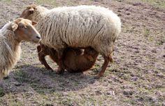 Coburg Fox Sheep - milk is essential :-)