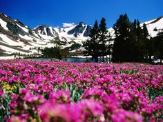 Flowers with Mountains in the Background, Sierra Nevada Mountains, United States of America