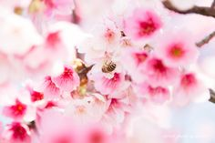 Cherry blossoms - Cherry blossoms in Taiwan on Yangmingshan.