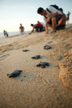 Turtle Release, Los Cabos, Mexico  You will help the conservation of the sea turtles - a true lifetime experience! You will also get your Certificate of Adoption and name your turtle. We teach to appreciate the subtle natural behaviors, beauty and grace of the magnificent sea turtle and to always respect their home.