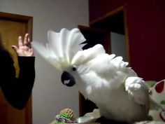 Bella  My Umbrella Cockatoo Arguing With my mother--Why we love our birds!! Visit us at http://www.exoticanimalsupply.com/ for a variety of COLORFUL COMPANIONS® Brand Bird Food!