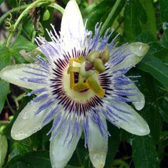 Grown from Passion Flower seeds, this vining perennial can grow to 180 inches or more, and it produces large, 4 inch pale blue blossoms. Passion Flower fruit are egg-shaped, orange and edible. Passion