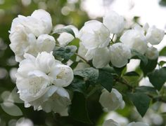 ~mock orange Philadelphus 'Virginal':   loveliest of the mock oranges