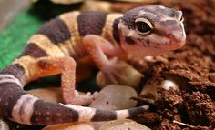 Leopard Gecko, photo by | : | chelle's view | : |