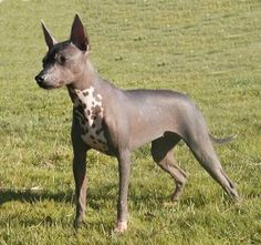 """I have a strange love for hairless creatures. this is a Xoloitzcuintli, or """"mexican hairless dog"""" Unique Dog Breeds, Rare Dog Breeds, Animals And Pets, Cute Animals, Mexican Hairless Dog, Dog Hotel, Puppy Pictures, Training Your Dog, Beautiful Dogs"""