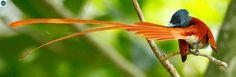 https://www.facebook.com/WonderBirds-171150349611448/ Đớp ruồi thiên đường châu Phi; Họ Đớp ruồi quân vương-Monarchidae/Monarch flycatcher; nam sa mạc Sahara, châu Phi || African paradise flycatcher (Terpsiphone viridis); IUCN Red List of Threatened Species 3.1 : Least Concern (LC)(Loài ít quan tâm).