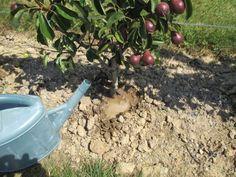 Utiliser ce lien souple pour attacher la vigne sur la treille ou la pergola voir sur ce site - Comment faire fuir les oiseaux des cerisiers ...