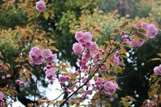 #cherry blossoms, #double cherry blossoms, #pink, #spring, #garden,