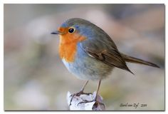 Robin by Sarel van Zyl on 500px