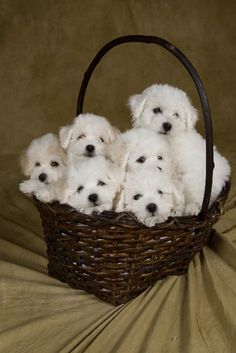 Basket of Bichons...looks like my Charlie! They are so very cute and sweet!