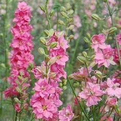JULY Birth flower - Larkspur  #larkspur  #julybirthflower