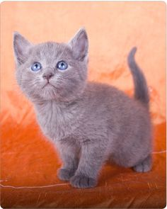 Day 2. Russian Blue kitten :)