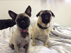 These pug mixes are doorbell. ding dong.