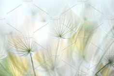 Dandelion 7 by Maria Dattola Photography on @creativemarket