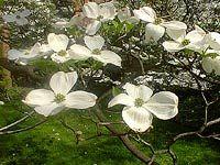 "Cornaceae Cornus florida ""Flowering Dogwood"""