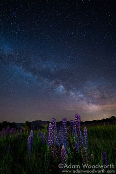 Lupines Under The Milky Way #1 Sugar Hill, New Hampshire