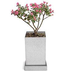 Crepe Myrtle Bonsai Specimen Tree 1