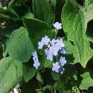 Brunnera macrophylla (Siberian bugloss): dainty but vivid blue flowers early spring, best used en mass fronts of beds, problem free.