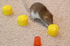 Who can resist playing with food? Here's a game your pet rats will love. It's…