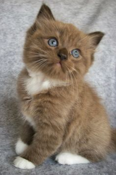 The 5 Cutest Cats Breeds