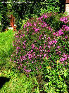 Septembergarten: Bergaster  The garden in September: European Michaelmas Daisy