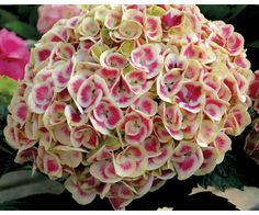 Cityline Mars hydrangea - absolutely stunning! Wouldn't this make a wonderful bridal bouquet? http://emfl.us/oSEd
