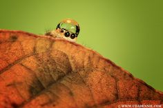 Fashionable Jumping Spiders