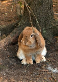 lop-eared rabbit By Leonid Pomeranian
