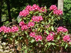 Rhododendrons are one of the first flowering shrubs to bloom in the spring. The popular bushes can be longlived and healthy if given proper care. But to get the most flowering power, you may need to fertilize. Click this article to learn more.