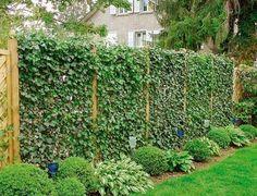 Spaljéer med murgröna blir vindskydd