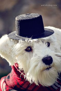White mini Schnauzer ..... Aww so darling with his little top hat on, really cute❤