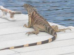 Lizard at Cayman