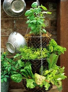 Hanging basket - Suspended salad bar with sweet basil, golden thyme, parsley, yellow veined chard and Lettuce