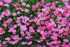 Táto pestovateľa už roky nekupuje muškáty a predsa ich má vždy najkrajšie z ulice: Ak na jeseň dodržíte tento krok, na jar ich budete mať v plnej kráse, aj na rozdávanie! Plants, Red, Gardening, Lawn And Garden, Plant, Planets, Horticulture
