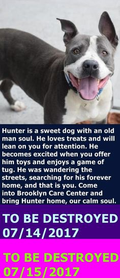 MURDERED 7-15-2017 --- Brooklyn Center  My name is HUNTER. My Animal ID # is A1117522. I am a neutered male gray and white am pit bull ter mix. The shelter thinks I am about 5 YEARS old.  I came in the shelter as a STRAY on 07/05/2017 from NY 11213, owner surrender reason stated was STRAY.  http://nycdogs.urgentpodr.org/hunter-a1117522/