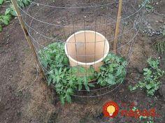 Jednoduchý nápad, ktorý môžete vyskúšať tento rok tiež. Jeho výsledkom je dvakrát väčšia úroda paradajok.