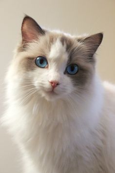 amerlinareptiles:  This is Lily, my blue bicolor Ragdoll. Already over a year old <3