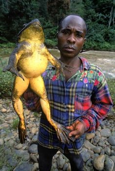 African goliath frog: You can find these big frogs in Cameroon. They can live up to 15 years and will eat anything: bugs, snakes, other frogs.The Goliath Frog can grow up to 13 inches long, weigh up to 8 lbs and… Giant Animals, Large Animals, Cute Animals, Funny Animals, African Frogs, Frog And Toad, Frog Frog, Mundo Animal, Reptiles And Amphibians